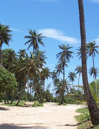 usaf: Palm Trees on Ramey Base USAF Puerto Rico