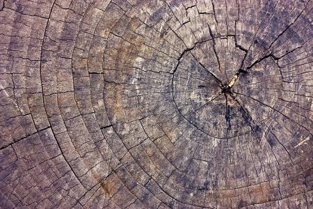 crannied: Cut of old dead tree  Wood texture