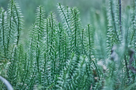 lycopodium in the forest. Shallow depth of field. Bokeh