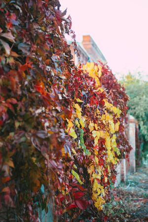 Waterfall of Purple, Violet, Yellow, Green, Red and Orange Autumn Leaves. Wild Grape. Autumn