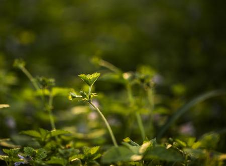Dream plant