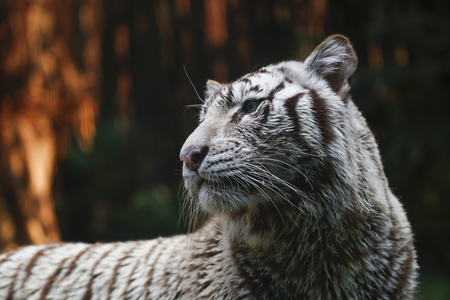 white tiger in the zoo