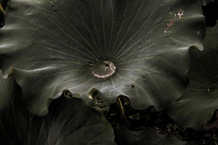 Lotus leaf 写真素材
