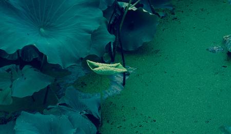 Lotus leaf Stock Photo