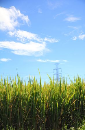 ricefield: ricefield with blue sky in background Stock Photo