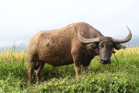 water buffalo or carabao grazing in a field