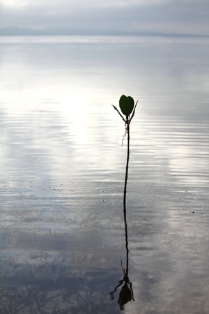 traquil scene: Silhouette of a plant at sunrise with reflection