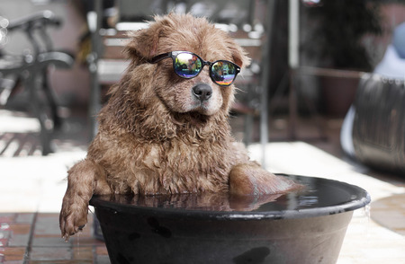 Funny dog with sunglasses enjoying an outdoor bath on basin with water. Stock Photo
