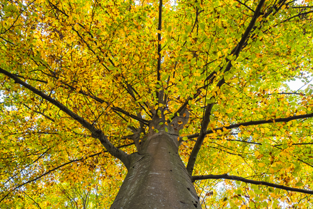 Beech treetop with branches leading from the trunk covered in yellow autumn leaves