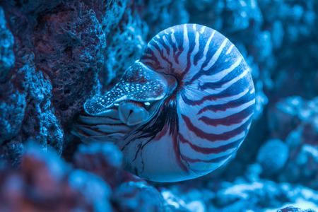 Nautilus shell closeup attached to the rocks Banco de Imagens