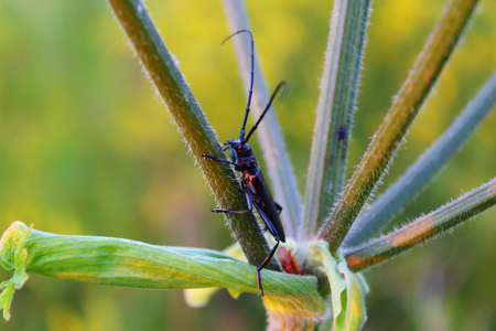 Herringbone Longhorn beetle with a long mustache and big on the umbrella plant.