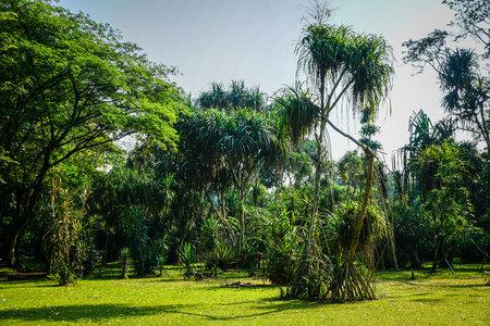 pleomele agave tree exotic tree from rainforest in bogor