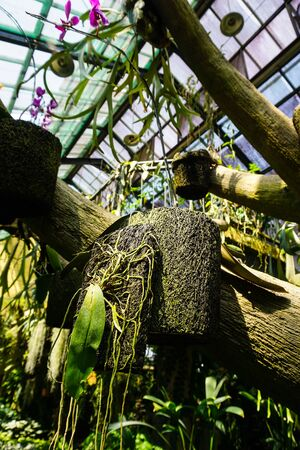 hanging coconut fiber traditional natural small pot with orchid tree plant - indonesia - photo