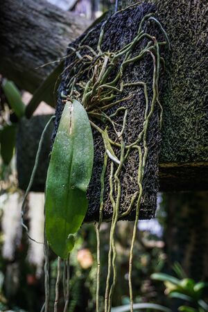 hanging coconut fiber traditional natural small pot with orchid tree plant - indonesia photo Stock fotó