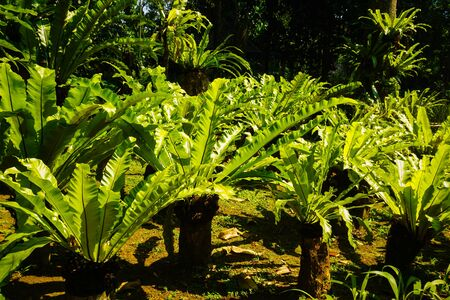 tropical fern with bright sunny day on the tropical forest on indonesia - photo Фото со стока