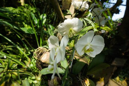 white orchid on the jungle of forest garden with green tropical country on the branch - indonesia photo