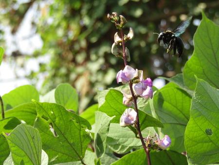 Vegetable An Illustration of Pickled Dolichos Lablab Hyacinth Bean or Surti Papdi Pods in Brine of Vinegar