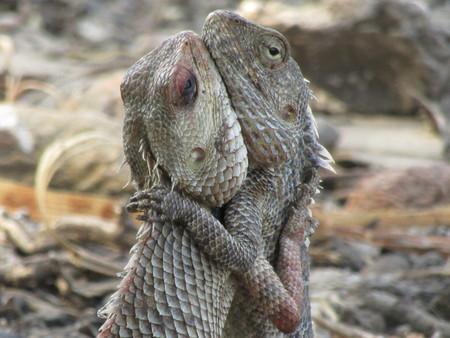 Lizards on the way fight in last stege fights.