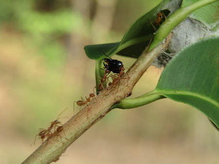Home for ants or red ants working.
