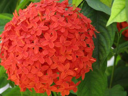 Lxora chinensis Beautiful macro blooming red colorful.