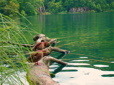 Ducks on the trunk, synchronized movement of two ducks on a log in the National Park of Plitvice Lakes