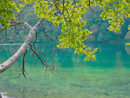 The tree of purity. Tree at the shore of the lake that touches the branches turquoise water