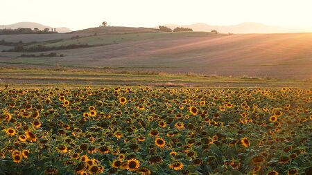 sunflower field lit up sideways by the warm sunset sun in Tuscany