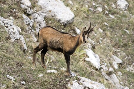 Chamois in the Abruzzo National Park