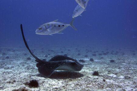 Black Stingray (Taeniurops meyeni) on a sand bottom with trevally silver fish, Underwater photography.