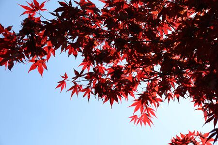 Red leaves of Red Japanese maple (Acer palmatum) whit blue sky