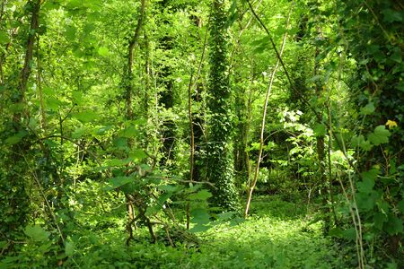 Lush vegetation in springtime in a green forest. Background