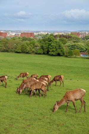 Red Deer (Cervus elaphus) in the park In Bristol Imagens