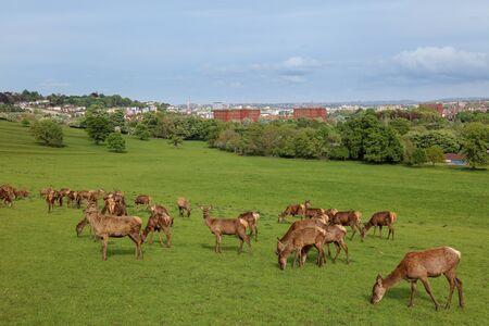 Red Deer (Cervus elaphus) in the park In Bristol Banco de Imagens
