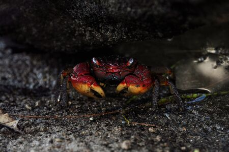Red and yellow Cardisoma carnifex (Blue Land Crab) under rocks. seychelles