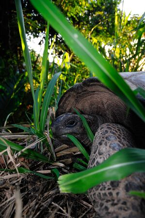 Young Aldabra Giant Tortoise, (Aldabrachelys gigantea) in a wilderness with back lit. Banque d'images