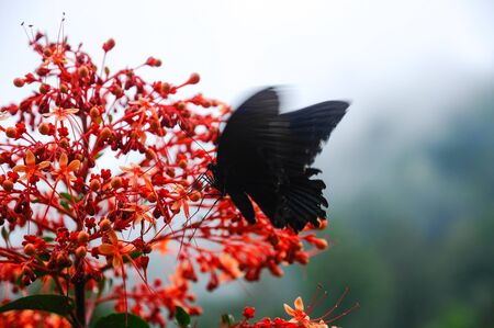Beautiful tropical red flower Pagoda-Flower Clerodendrum paniculatum with a black Butterfly Great Mormon Swallowtail Papilio memnon Stock Photo