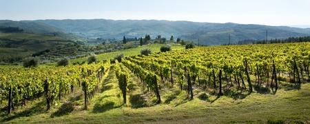 chianti: chianti vineyard