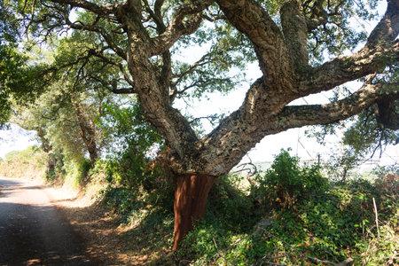 peeled quercus suber after harvest, cork oak or quercus suber in sardinia in mediterranean TEMPO PAUSANIA