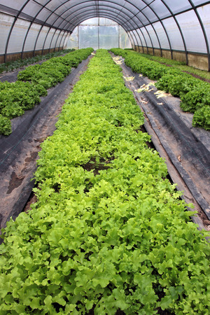 planted: Perspective view of a greenhouse planted with salad Stock Photo