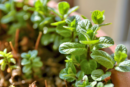 Small potted mint plants. The winter sun has a yellowish light that illuminates the scene, a slight breeze makes the leaves move.