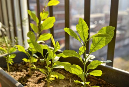 Small potted lemon plants. The winter sun has a yellowish light that illuminates the scene, a slight breeze makes the leaves move