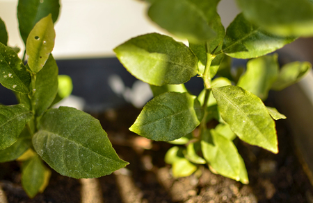Close up on potted lemon seedlings. They are watered: a rain of water droplets wets the leaves.