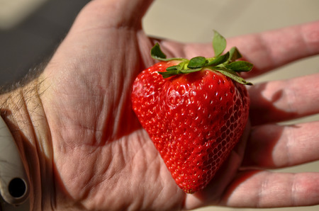 Close up with selective focus of a large bright red strawberry. The hand of a Caucasian man holds her up.