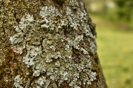 Close up of lichens on a tree, indistinguishable blurred background.