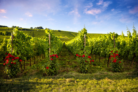 Landscape vineyards of wine route. France, Alsace Stockfoto