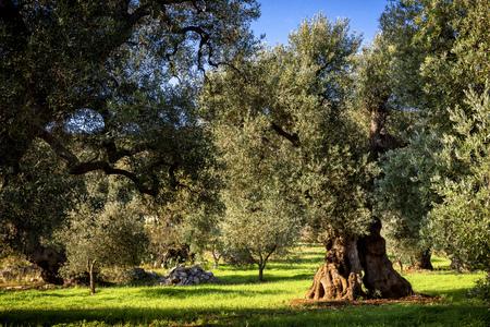 Old olive grove in Puglia (Apulia)? italy Stockfoto
