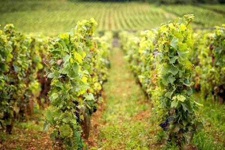 Vineyards in Savigny les Beaune, near Beaune, Burgundy, France