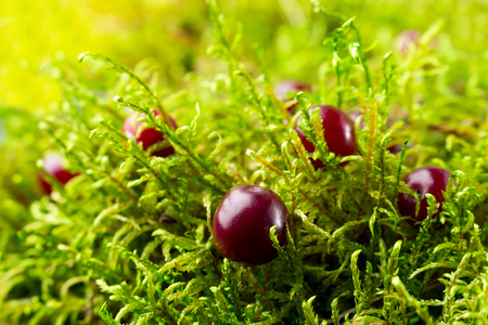 Close-up of red cranberry and green moss in the forest