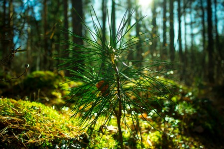 Sprout of siberian pine, close up. Ecology nature landscape. Sun in green forest