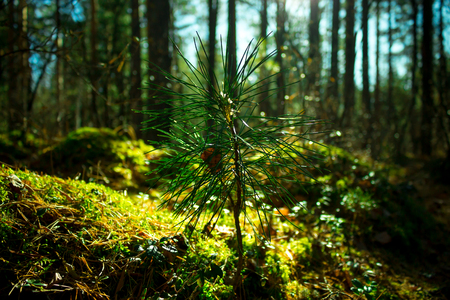 Sprout of siberian cedar, closeup. Ecology nature landscape. Sun in green forest